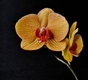 Orchidée nobile de Dendrobium Photos libres de droits