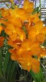 Orchidée orange Image libre de droits