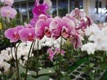 Orchidée, orchidées, fleur, blanc, ressort, floral, beau, nature, flore, fleur, vert, fond, conception, jardin, ferme, usine, b images stock