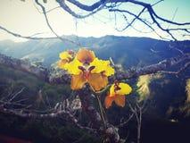 orchidée peruavian Photo stock