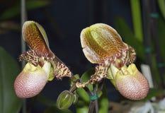 Orchidée Pinocchio de Paphiopedilum Photographie stock