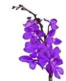 Orchidée pourprée Images stock