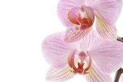 Orchidée pourprée photo libre de droits