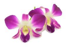 Orchidée pourprée d'isolement Photos libres de droits