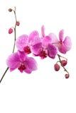 Orchidée pourprée d'isolement sur le blanc Photos libres de droits