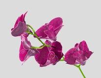 Orchidée pourprée de Dendrobium photographie stock libre de droits