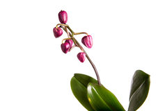 Orchidée pourprée de phalaenopsis Photo libre de droits