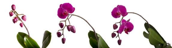 Orchidée pourprée de phalaenopsis Images libres de droits