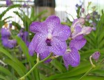 Orchidée pourprée de Vanda Photo libre de droits