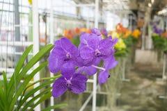 Orchidée pourprée de Vanda Photographie stock