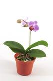 Orchidée pourprée réticulaire Images libres de droits