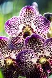 Orchidée pourpre Photo libre de droits