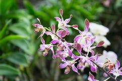 Orchidée pourpre Images libres de droits