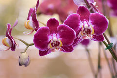 Orchidée pourpre Photos stock