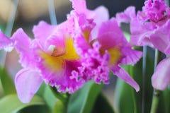 Orchidée pourpre Images stock