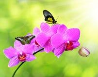 Orchidée pourpre avec des papillons Photos libres de droits