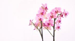 Orchidée pourpre avec le fond blanc Photo stock