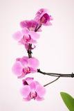 Orchidée pourpre avec le fond blanc Image libre de droits