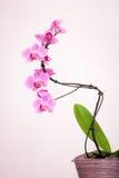 Orchidée pourpre avec le fond blanc Photographie stock