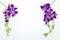 Orchidée pourpre de branche sur le fond blanc Images stock
