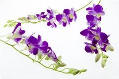 Orchidée pourpre de branche sur le fond blanc Photo libre de droits