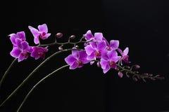 Orchidée pourpre de Dendrobium à l'arrière-plan noir Image stock