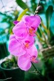 Orchidée pourpre de Falan Image stock