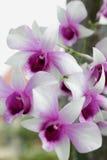 Orchidée pourpre, espèces blanches de rotin Photographie stock libre de droits