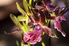 Orchidée pourpre et verte, espèces de Zygopetalum Photographie stock