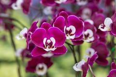 Orchidée pourpre sur l'inflorescence dans le jardin Photo libre de droits