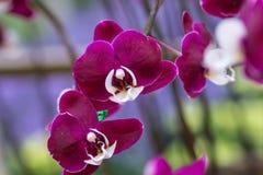 Orchidée pourpre sur l'inflorescence dans le jardin Image stock