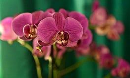 Orchidée pourpre sur un fond de sarcelle d'hiver Image stock