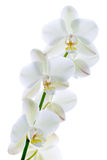Orchidée pure. Images stock