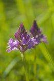 Orchidée pyramidale, (pyramidalis d'Anacamptis) Photos stock