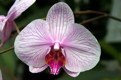 Orchidée rayée rose de phalaenopsis Photographie stock libre de droits
