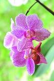 Orchidée repérée Photographie stock