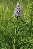 Orchidée repérée commune - fushsii de Dactylorhiza Photographie stock libre de droits