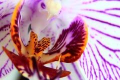 Orchidée repérée de Phalaenopsis Photo libre de droits