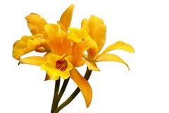 Orchidée repérée orange d'isolement de languette photographie stock libre de droits