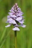 Orchidée repérée par bruyère Photographie stock