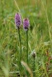 Orchidée repérée par terrain communal, maculata de Dactylorchis Photos stock