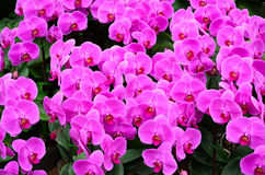Orchidée rose Photo libre de droits