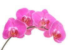 Orchidée rose image stock