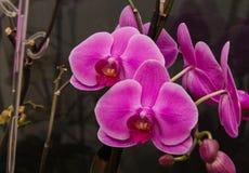 Orchidée rose Image libre de droits