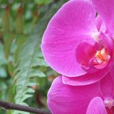 Orchidée rose Image stock