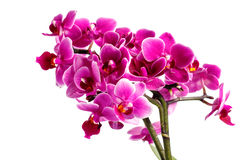 Orchidée rose avec beaucoup de fleurs sur un fond blanc Photos stock
