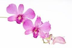 Orchidée rose bunchy Photographie stock libre de droits