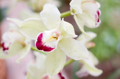 Orchidée rose d'été Photo stock