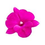 Orchidée rose d'isolement sur le fond blanc Image libre de droits