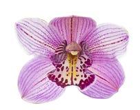 Orchidée rose d'isolement sur le vecteur blanc de fond Images stock